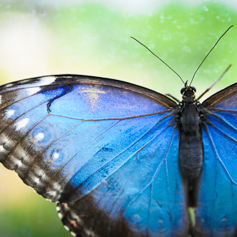 close up shot of blue butterfly wings.